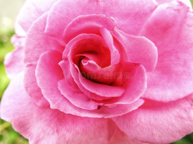 Delikatny menchii róży zbliżenie obrazy royalty free