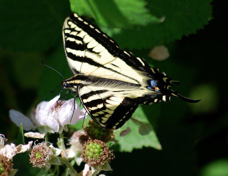 Delikatny motyli popijanie nektar od jagodowego okwitnięcia obraz stock