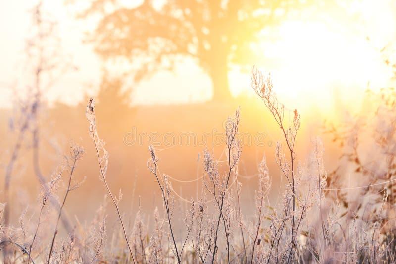Delikatny mroźny jesień ranek Trawa w hoarfrost openwork, możny dębowy drzewo w świetle słonecznym w tle Walka upał i c obraz royalty free