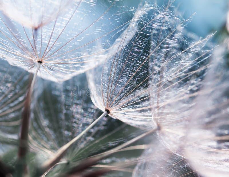 Delikatny naturalny tło puszyści ziarna dandelion zdjęcia royalty free