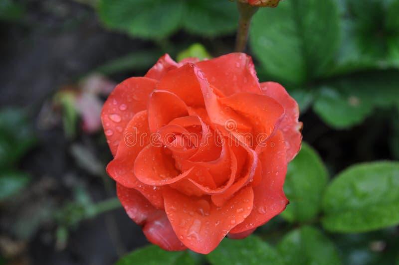 Delikatny pomarańcze róży pączek zdjęcia royalty free