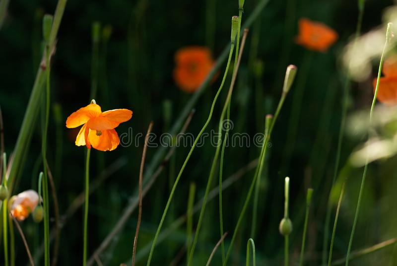 Delikatny Pomarańczowy Makowy kwiat obraz stock