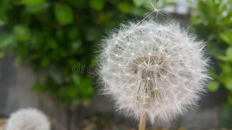 Delikatny puszysty kwiat wybi?rczo skupiaj?cy si? na zamazanej zieleni opuszcza t?o zdjęcie royalty free