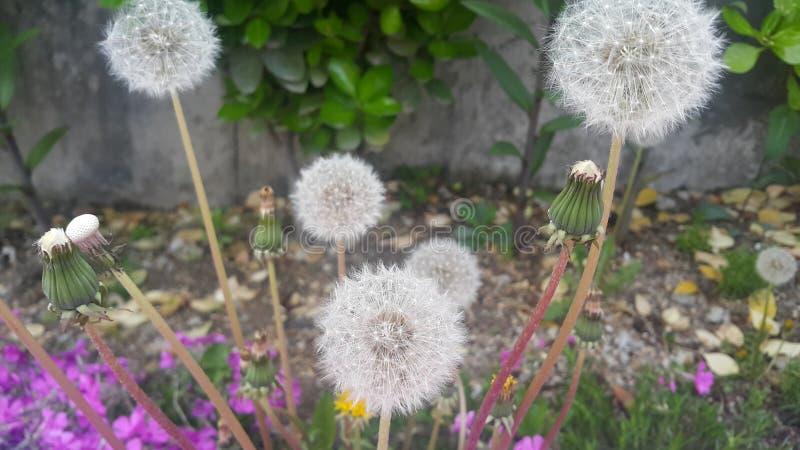 Delikatny puszysty kwiat wybi?rczo skupiaj?cy si? na zamazanej zieleni opuszcza t?o obraz stock
