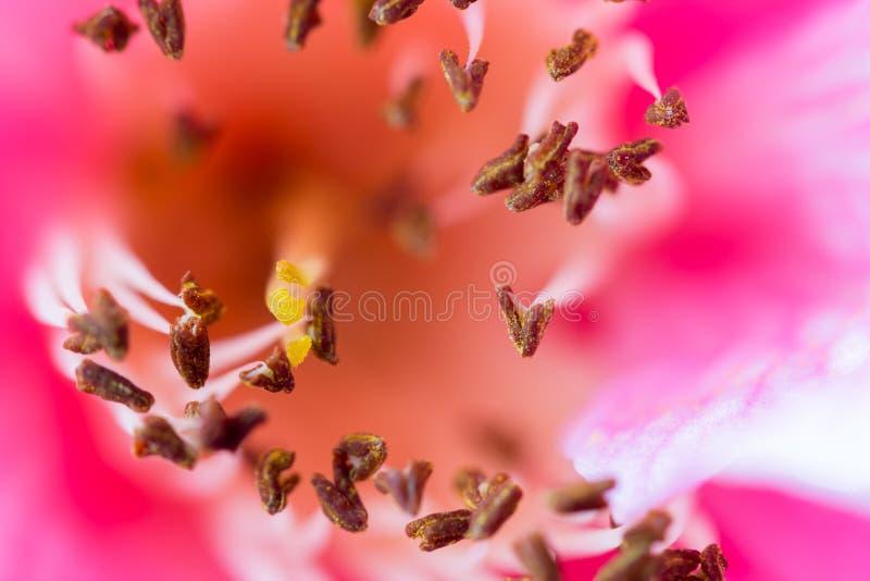 Delikatny różowy camelia zdjęcie royalty free