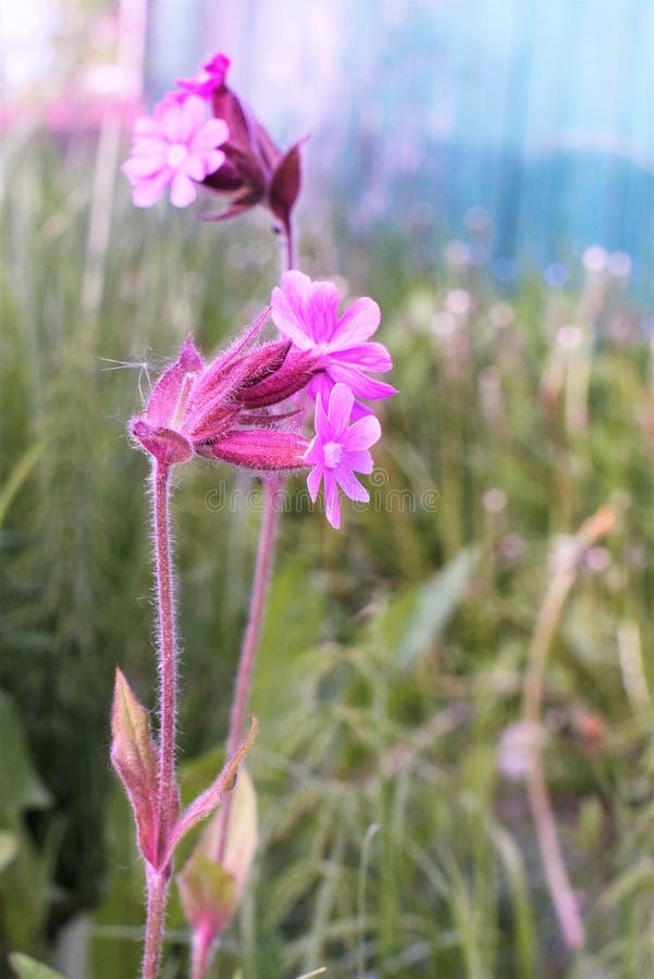 Delikatny różowy dziki kwiat w ogródzie w górę fotografia stock