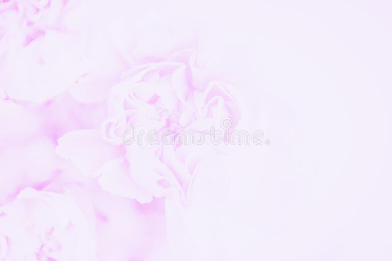 Delikatny różowy goździków kwiatów tło Miękki pastelowy kwiat kosmos kopii obraz royalty free