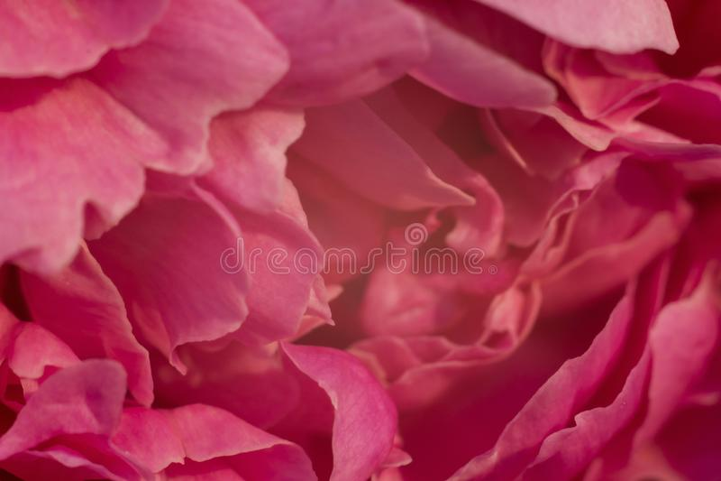 Delikatny różowy tło od różnorodność kwiatów płatków zdjęcia stock