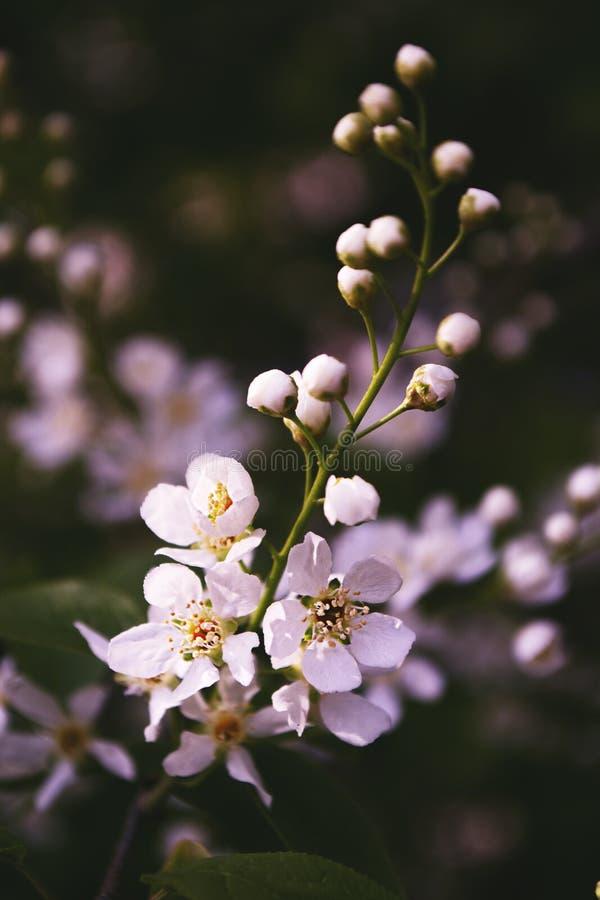 Delikatny sprig ptasia wi?nia z weightless p?atkami kwiaty zdjęcia stock
