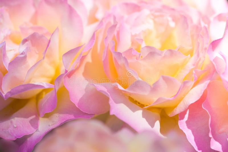 Delikatny tło z różanymi płatkami Stosowny dla ślubnych zaproszeń i pocztówek Tło dla ogólnospołecznych sieci naturalny zdjęcie stock