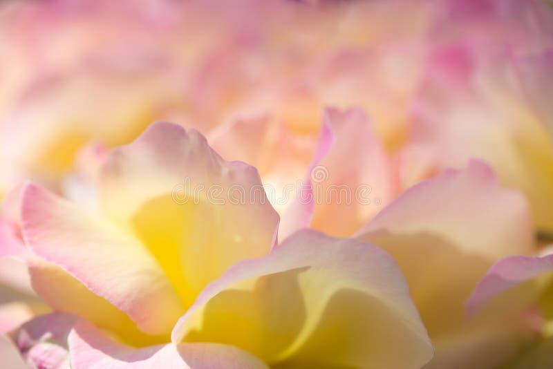 Delikatny tło z różanymi płatkami Stosowny dla ślubnych zaproszeń i pocztówek Tło dla ogólnospołecznych sieci naturalny obraz stock