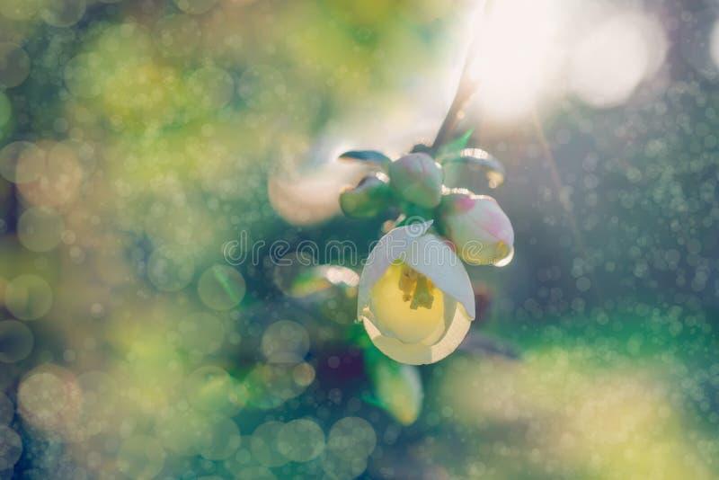 Delikatny wiosny tło z białym kwiatem i bokeh zdjęcia stock