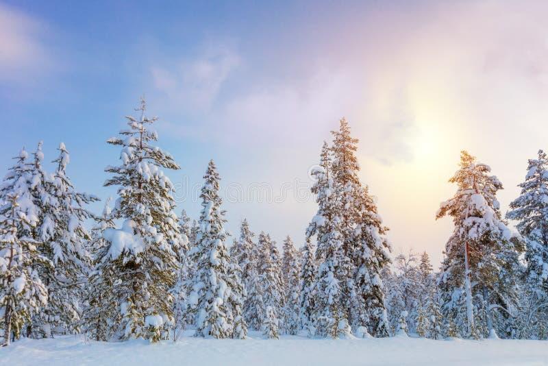 Delikatny zima zmierzch - północny śnieżny lasu krajobraz zdjęcia stock