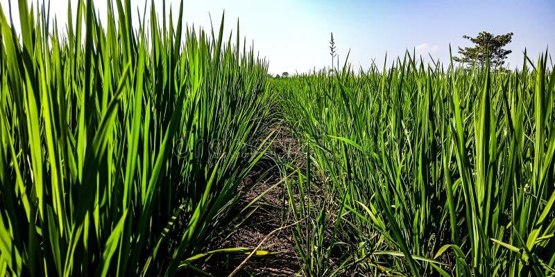 Delimiter i ricefielden royaltyfria bilder