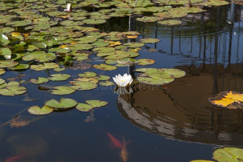 Dell'acqua foto del fiore lilly fotografie stock