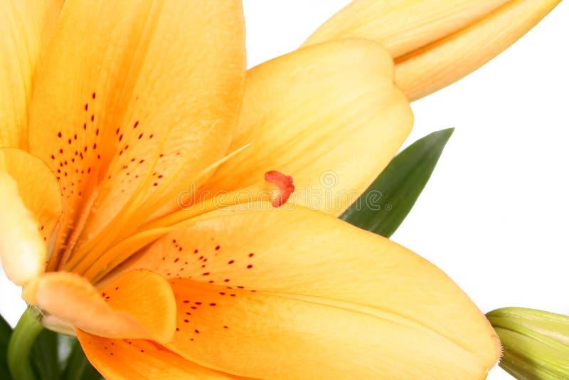 Dell'arancio fiore lilly sulla b bianca fotografia stock