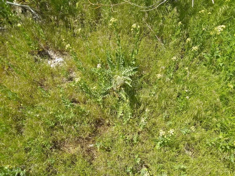 Dell'erbaccia fiore cattivo pre lontano fotografia stock libera da diritti