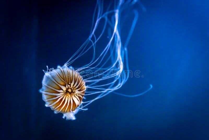 Della chrysaora dei fuscescens delle meduse ortica pacifica arancio del mare anche fotografia stock libera da diritti