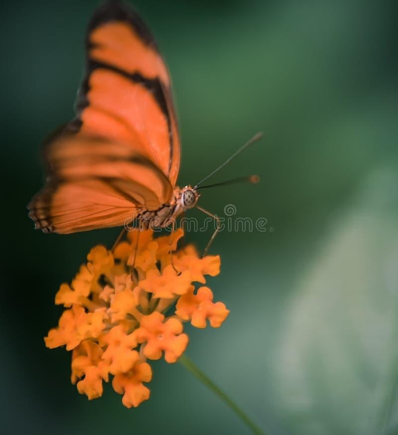 della farfalla arancia ed il nero da solo posati a colori in una fine del giardino su fotografie stock