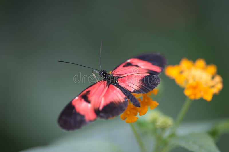 della farfalla bianco e nero rossi da solo risieduti nel colore di estate sul suo fiore giallo fotografie stock libere da diritti