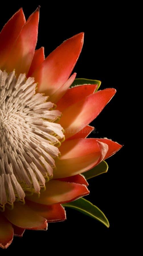 Della priorità bassa nera isolata del re Protea la metà ha andato fotografia stock