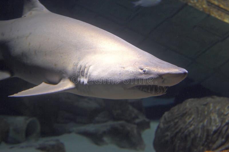 Dello squalo fine in su fotografie stock libere da diritti