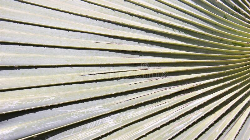 Dello zucchero della foglia di palma natura vero immagine stock libera da diritti