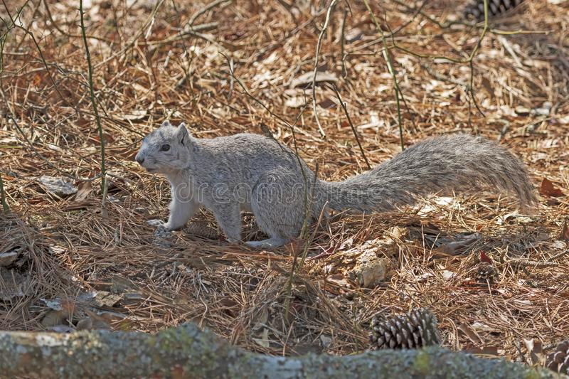 A Delmarva Fox Squirrel in the Forest. In Chincoteague Island Wildlife Refuge in Virginia stock photography
