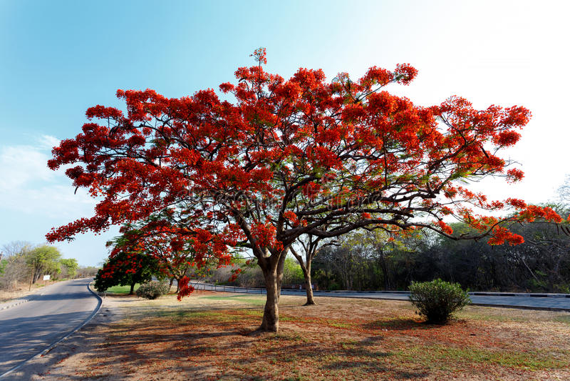 Delonix Regia (Flamboyant) tree with blue sky. stock photo