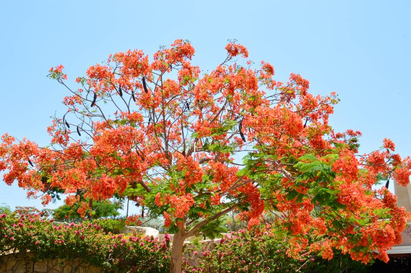 Delonix royal tree with branches with red blossoming flowers, with green leaves in a tropical resort against a blue sky on a clear royalty free stock image