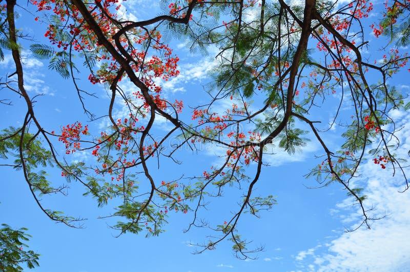 Delonixregiaträd med moln och himmel royaltyfri foto