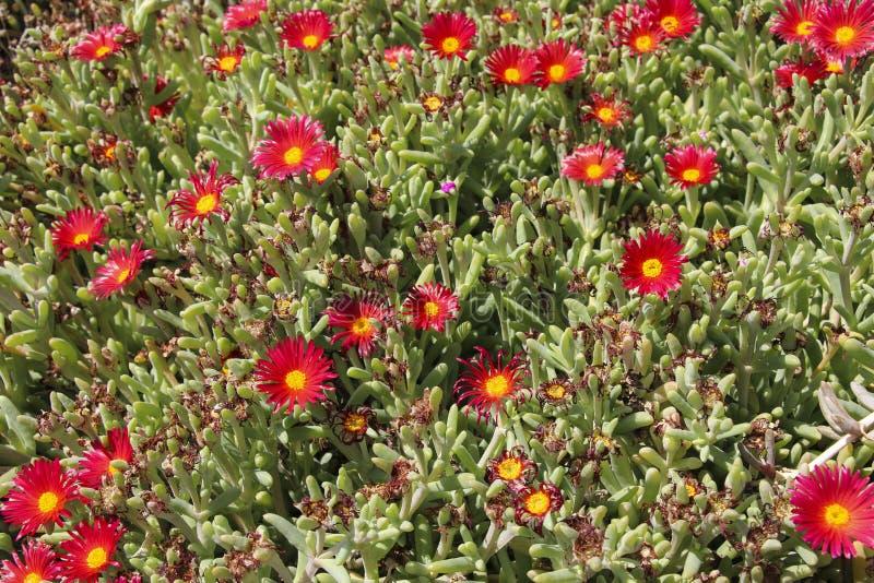 Delosperma-Blumen Rot-geblühter Succulent nannte Delosperma lizenzfreie stockbilder