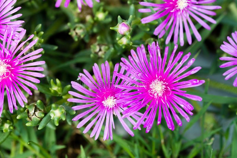 Delosperma cooperi, common names Trailing Iceplant, Hardy Iceplant, or Pink Carpet. Closeup royalty free stock photography