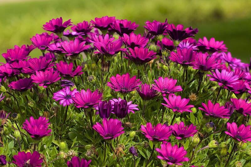 Delosperma cooperi - purpurfärgad härdad isväxt arkivbilder