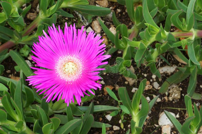 Delosperma Cooperi succulent flower in garden. Flower in dark pink color with white stamens on a background of fleshy green leaves royalty free stock image