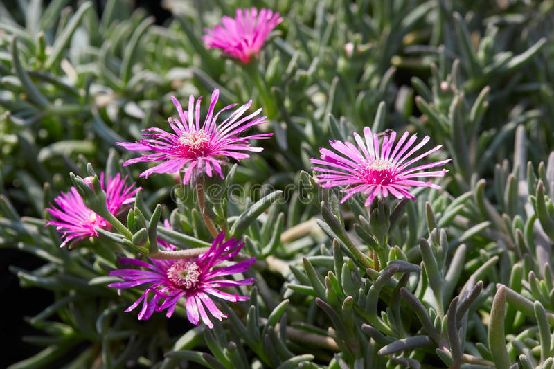 Delosperma cooperi, trailing iceplant pink flowers. And leaves royalty free stock photos
