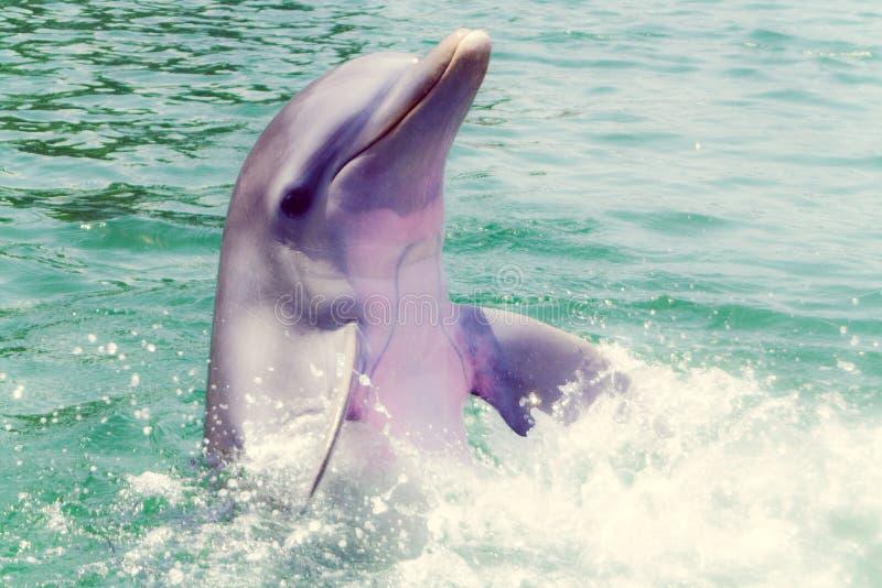 Delphin in Caribe stockfoto