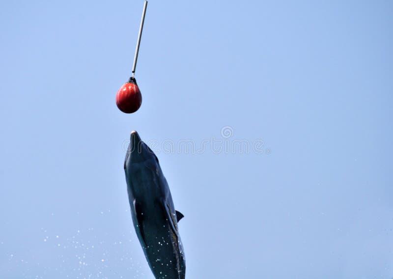 Delphin in Cartagena, Kolumbien, stockfotos