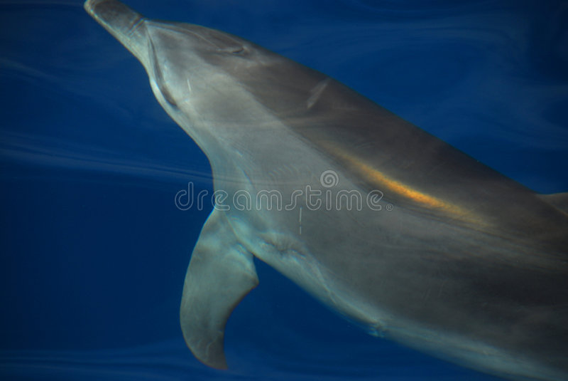 Delphin, der im Hervey Schacht, Australien spielt lizenzfreie stockbilder