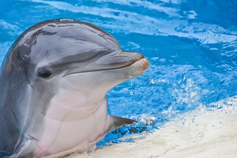 Delphin, der im Poolporträt lächelt stockfotografie