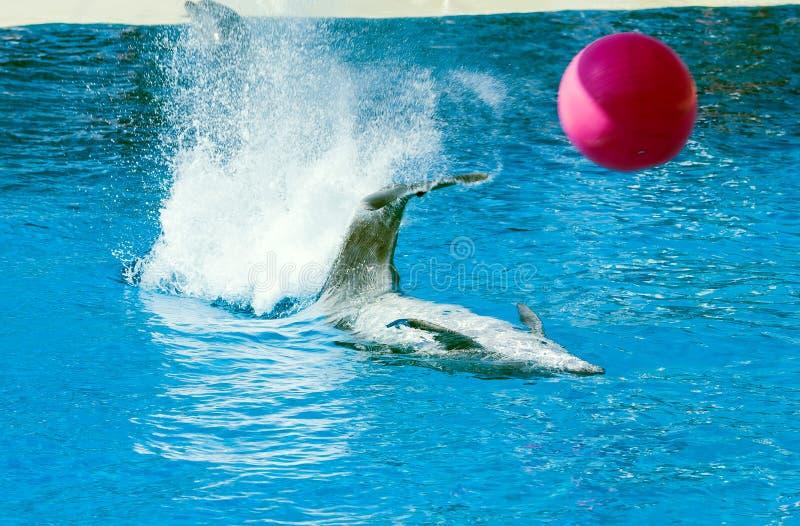 Delphin, der mit einem Ball spielt lizenzfreies stockbild