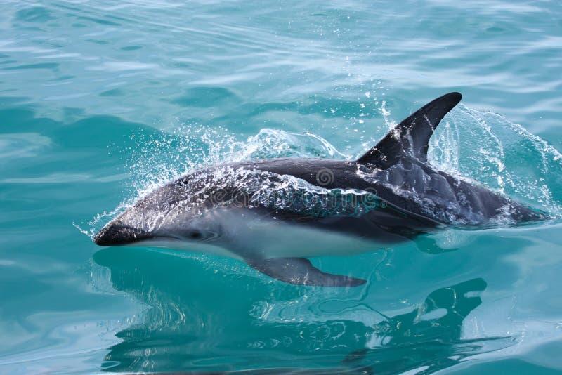 Delphin, Neuseeland lizenzfreie stockfotografie