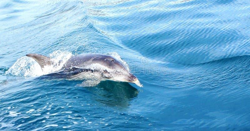 Delphin-Schwimmen im Wasser vor Tasmanien stockfoto