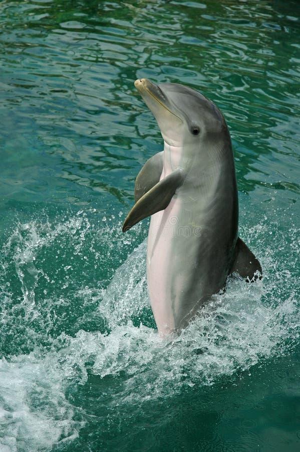 Delphin-Spritzen stockbilder