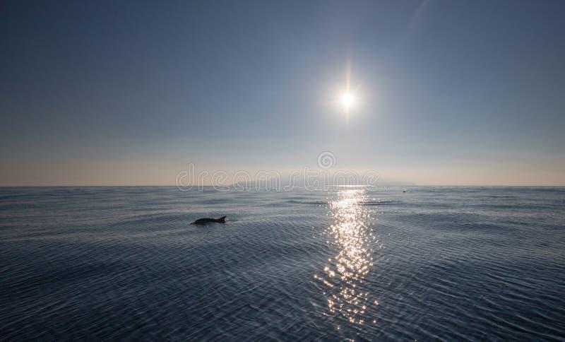 Delphin- und Sonnenlichtreflexionen vor der Kalifornien-Küste nahe Oxnard Kalifornien USA stockfotografie