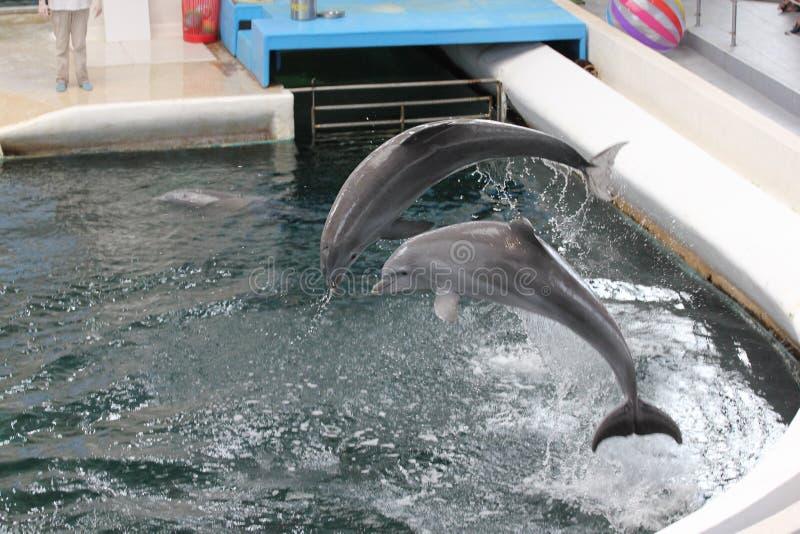 delphine lizenzfreie stockbilder