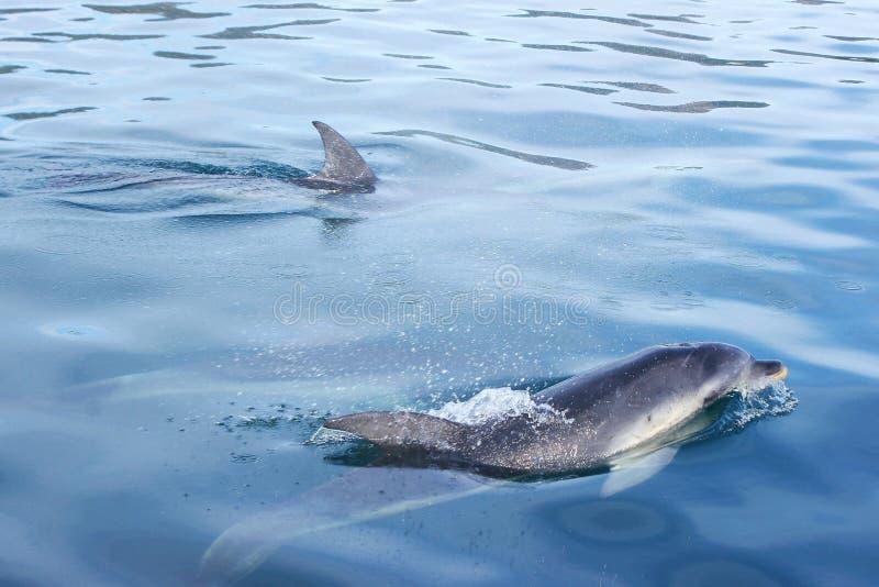 Delphine, die im tasmanischen Wasser schwimmen stockfotografie
