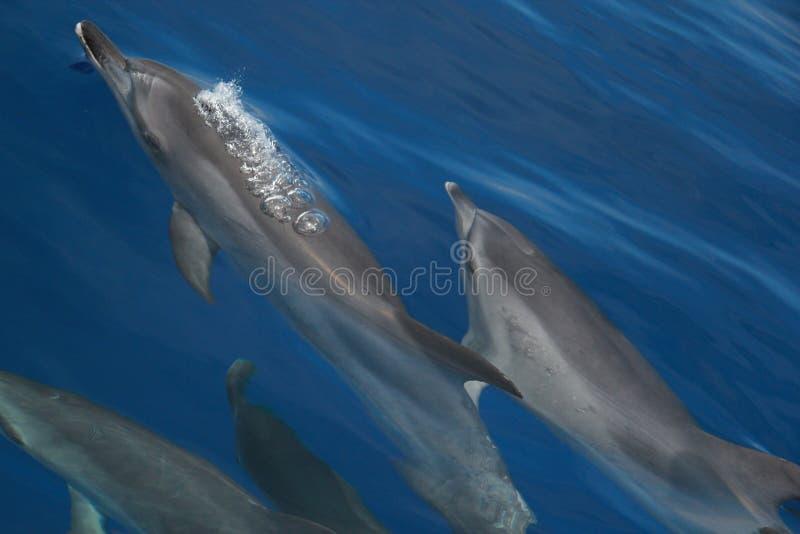 Delphine mit Luftblasen lizenzfreie stockfotografie