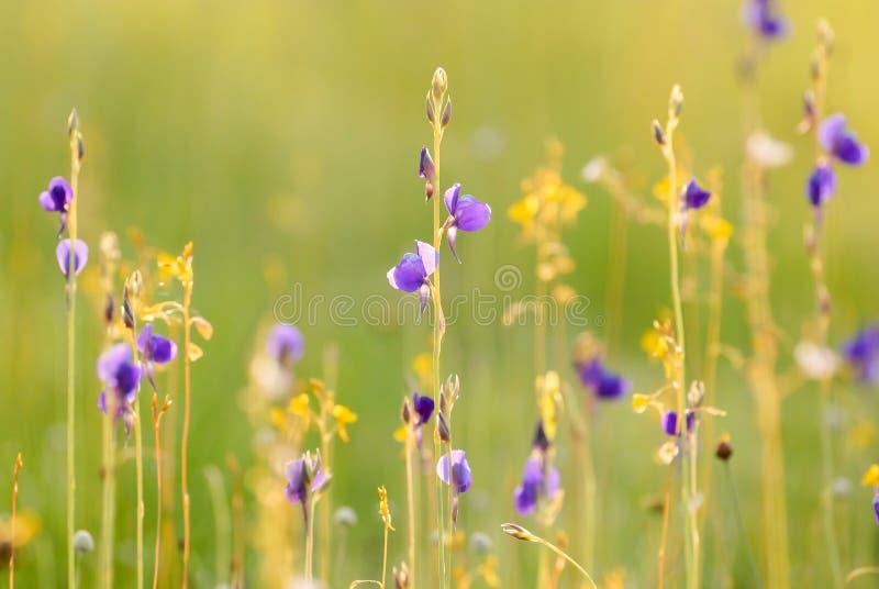 Delphinioides do Utricularia no campo fotos de stock royalty free