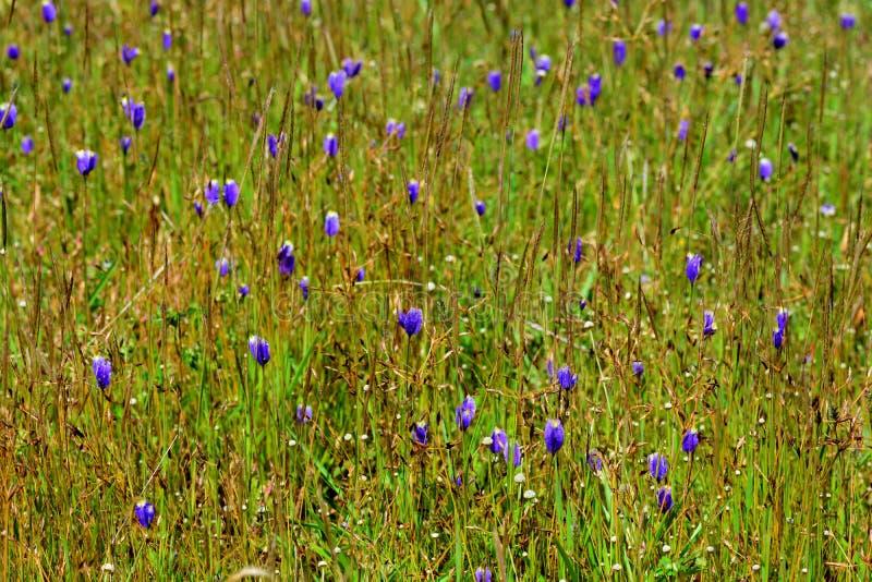 Delphinioides ou Lentibulariaceae do Utricularia foto de stock
